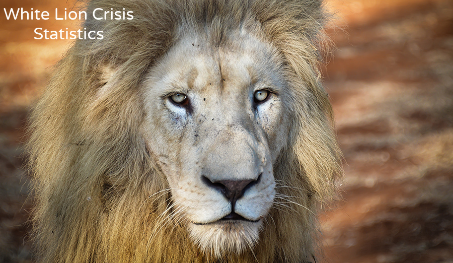 Global White Lion Protection Trustwhite Lions In Crisis