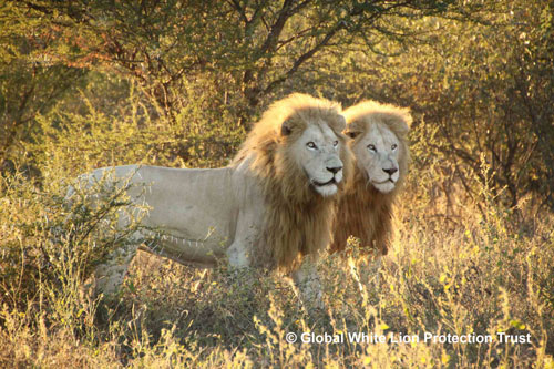 Global White Lion Protection Trustonly 3 100 Wild Lions