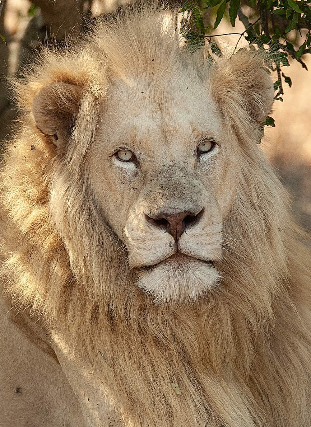 Close up of male White Lion named Assegaia