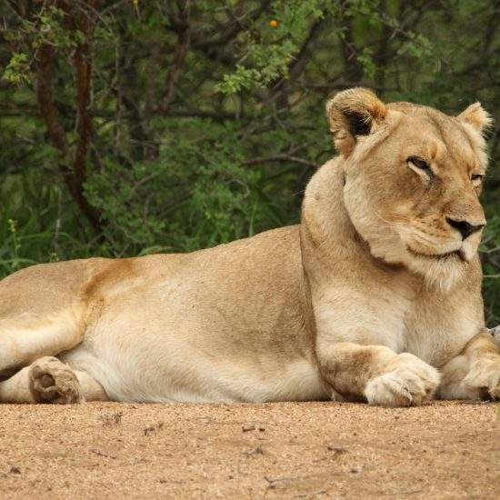 Golden lioness, Cleopatra, lying down