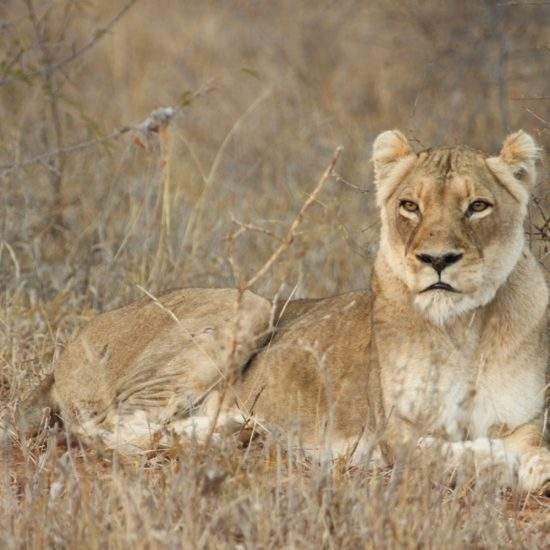 Golden lioness, Cleopatra, lying in the dry bushveld