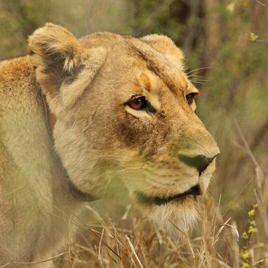 Golden lioness, Cleopatra, in side profile