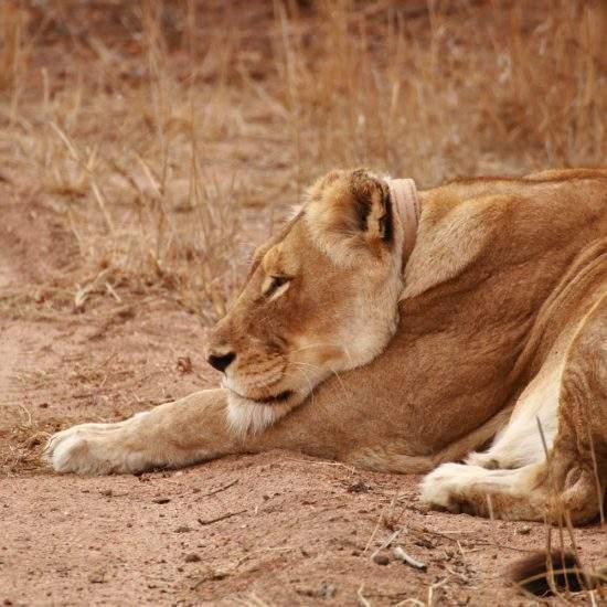 Side view of golden lioness, Cleopatra, resting
