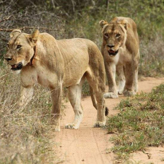 Two golden lionesses, Cleopatra and Tswalu, walking down a bush road and into the veld