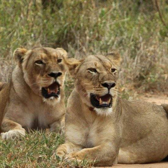 Two golden lionesses, Cleopatra and Tswalu, lying down after a feast