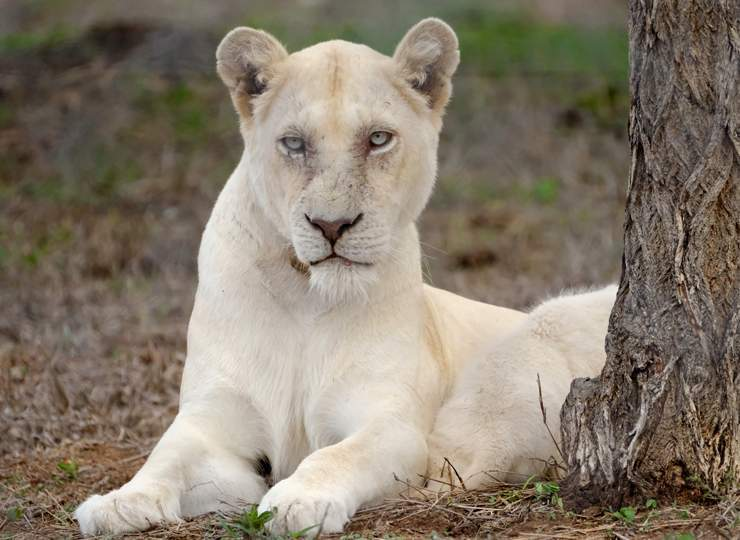 White Lioness named Gaia with a cub