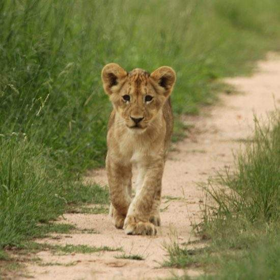 Small lion cub in the wild walking towards the camera
