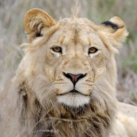 Close up of sub-adult male lion, Ingwavuma