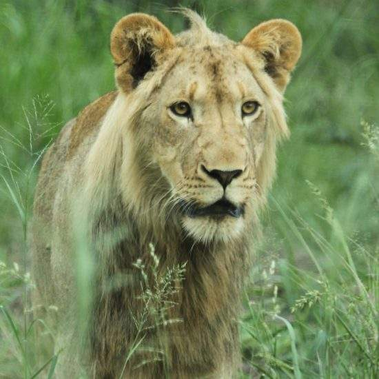 Close up of sub-adult male lion, Ingwavuma, in a field of long green grass