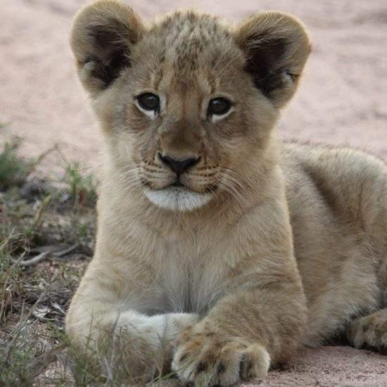 Close up of adorable baby lion cub, named Ingwavuma