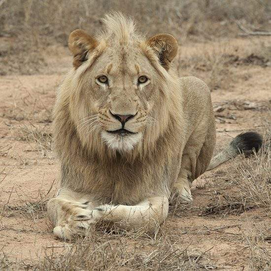 Close up of sub-adult male lion, Ingwavuma, lying in the dry bushveld