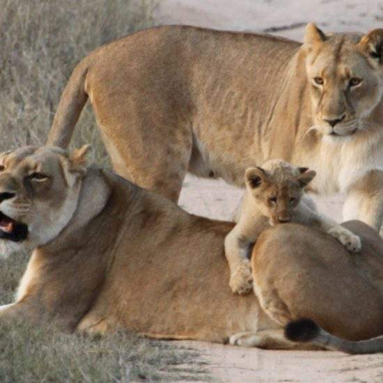 Baby lion cub, Ingwavuma, playing on his auntie's back while his mom is close by