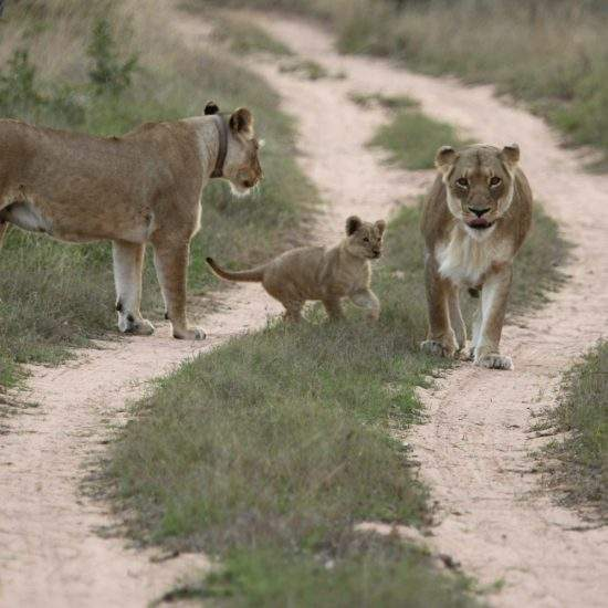 Small lion cub plays with his mom and auntie