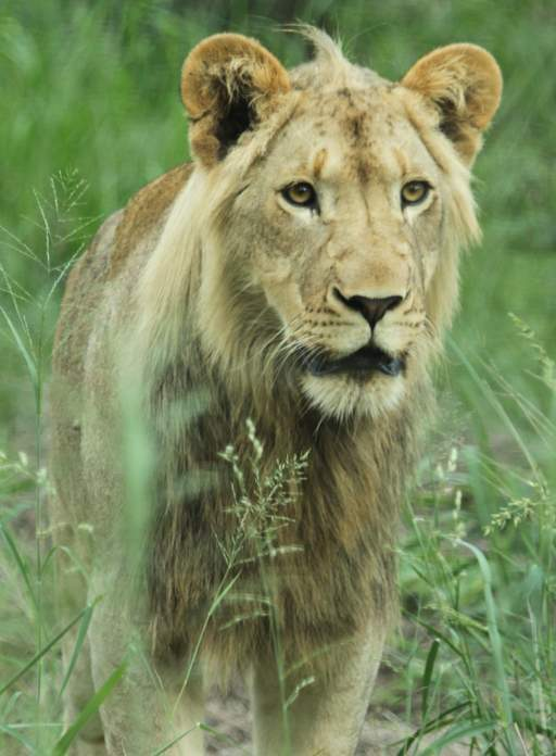 Sub-adult male lion, Ingwavuma, in green grass
