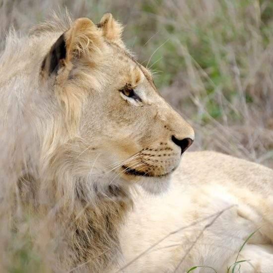 Sub-adult golden lion, Ingwavuma, in side profile