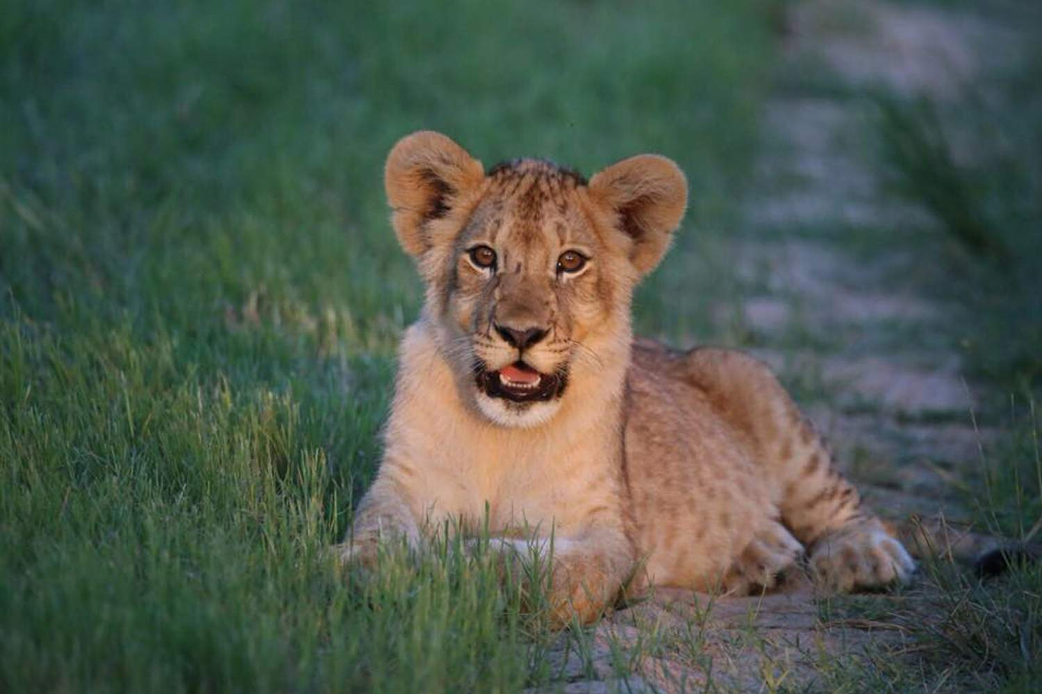 Lion cub sitting in green grass at sunset, staring at the camera