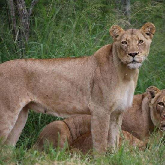 Two golden lionesses - one lying down and one standing up - looking alert at the camera