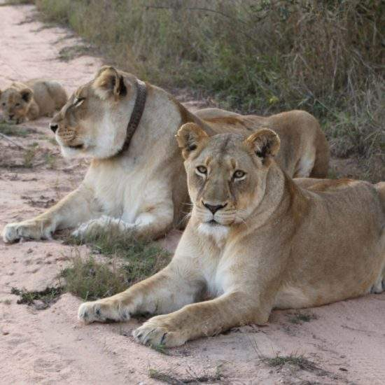 Two golden lionesses and a small cub relaxing on a sandy road