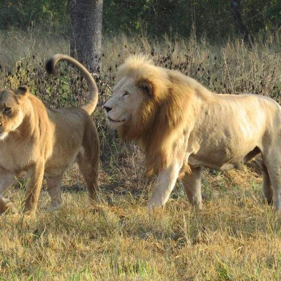 Golden lioness and male White Lion walking in the morning sunlight