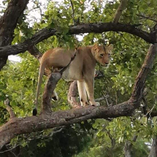 Golden lioness in a tree