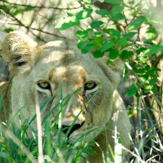 Close up of golden lioness relaxing in the bushy shade