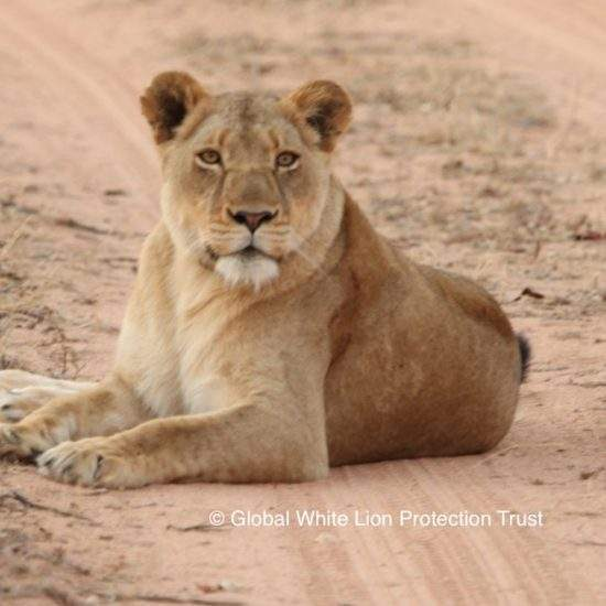 Golden lioness lying down on a sandy road