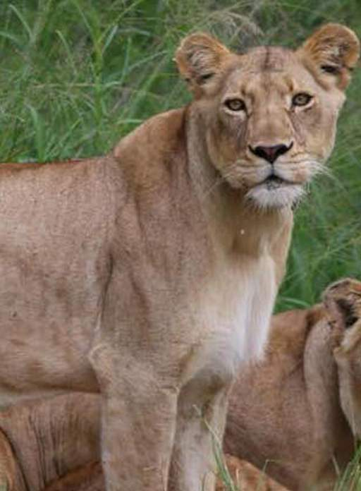 Golden lioness looking slightly to the side of the camera