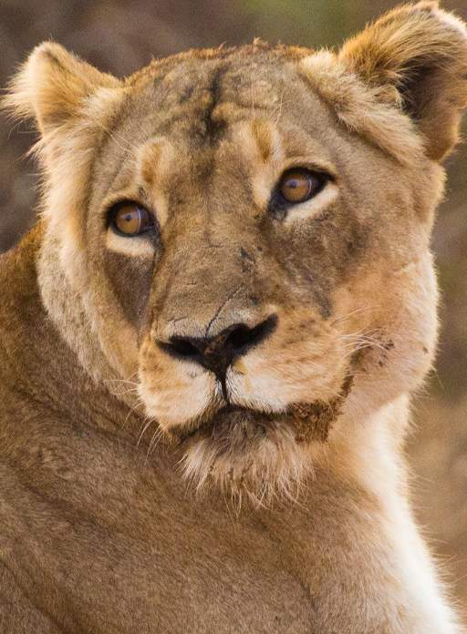 Close up of golden lioness, Cleopatra, looking off to the side