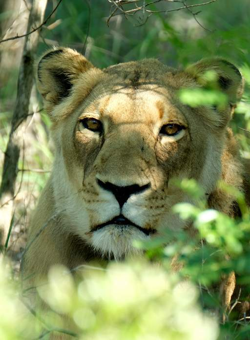 Close up of golden lioness, Khanyisa, relaxing in the shade