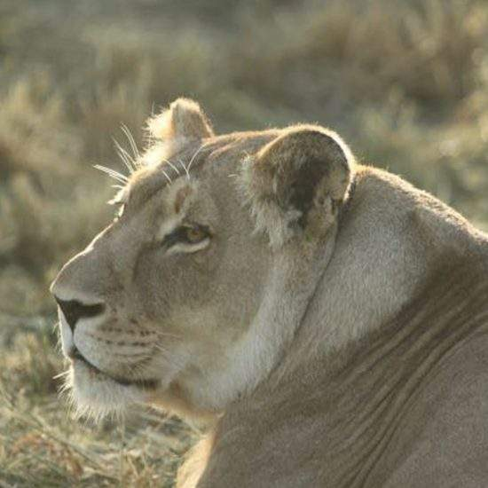 Profile view of golden lioness, Khanyisa, at sunset