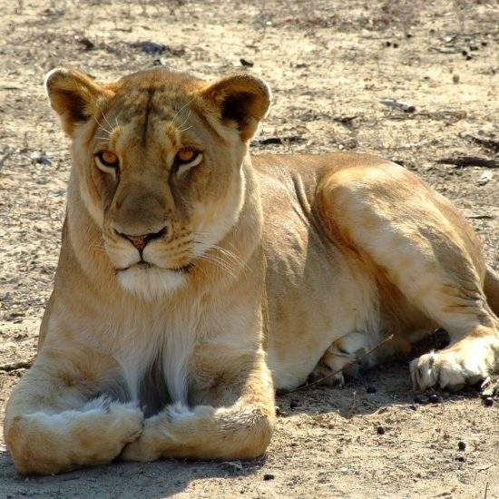 Golden lioness, Khanyisa, lying down in a dry river bed