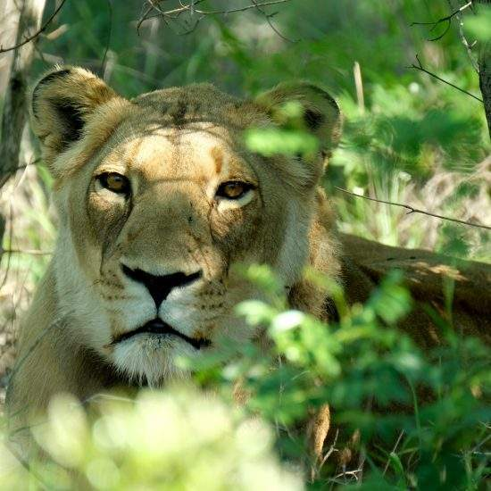 Close up of golden lioness, Khanyisa, resting in the shade