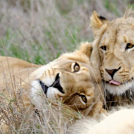 Golden lioness, Khanyisa, nuzzles up against sub-adult male lion, Ingwavuma
