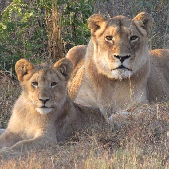 Golden lioness, Khanyisa, lying together with young cub, Ingwavuma, at sunset. Both looking directly at the camera