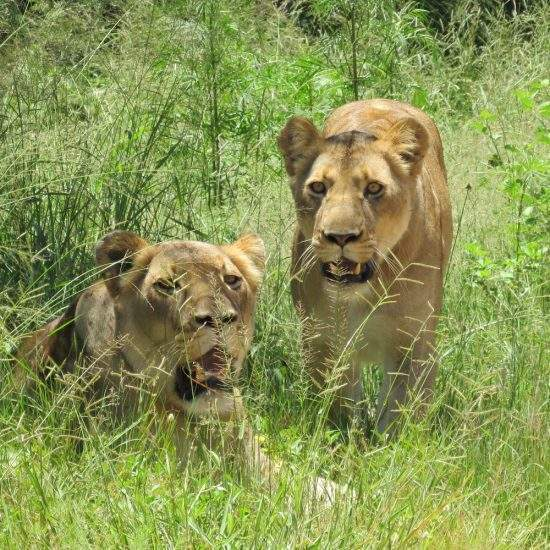 Two golden lionesses stare at the camera from their position in a field of tall green grass