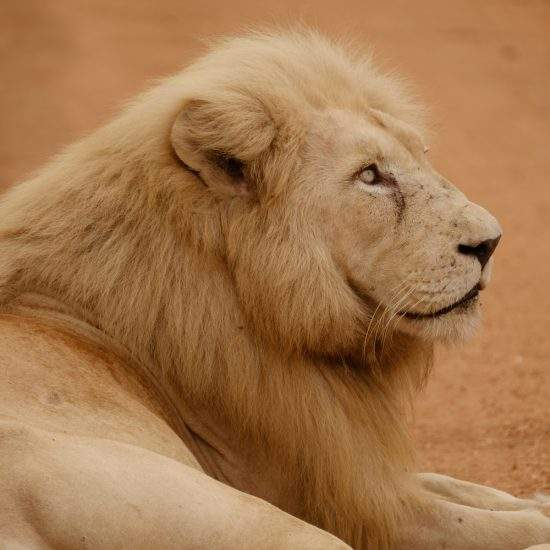 Close up of White Lion looking to the sky