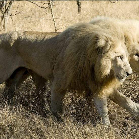 Two male White Lions walking closely together through the bush