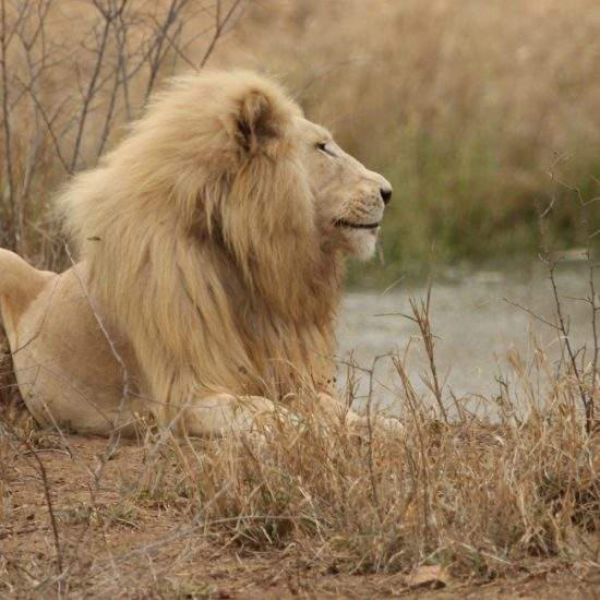 Profile view of male White Lion with water hole behind him