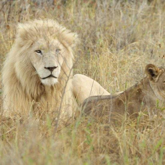Male White Lion and golden lioness lying together in the bush
