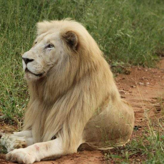White Lion looking alert whilst lying down on a sand path