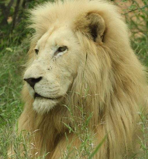 Close up of male White Lion, Matsieng, lying in the green grass