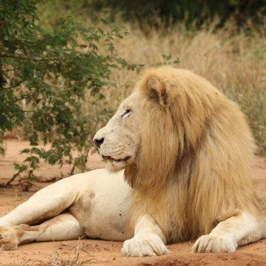 Male White Lion lying down in a dry riverbed