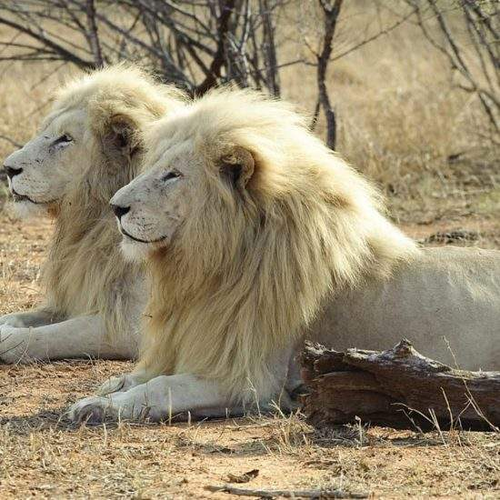 Two male White Lions lying down in profile view