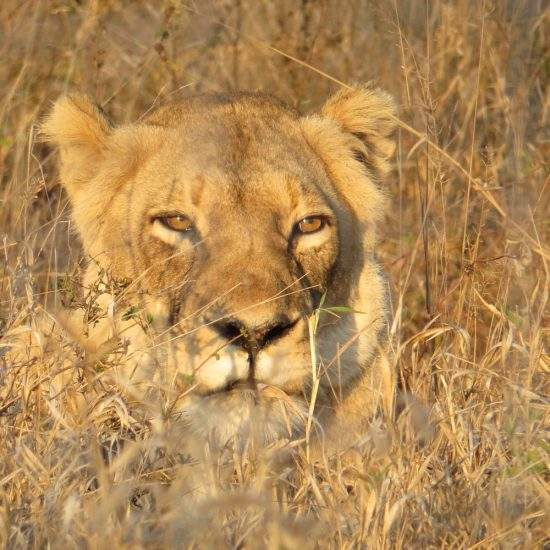 Golden lioness looking out from a patch of long, dry grass