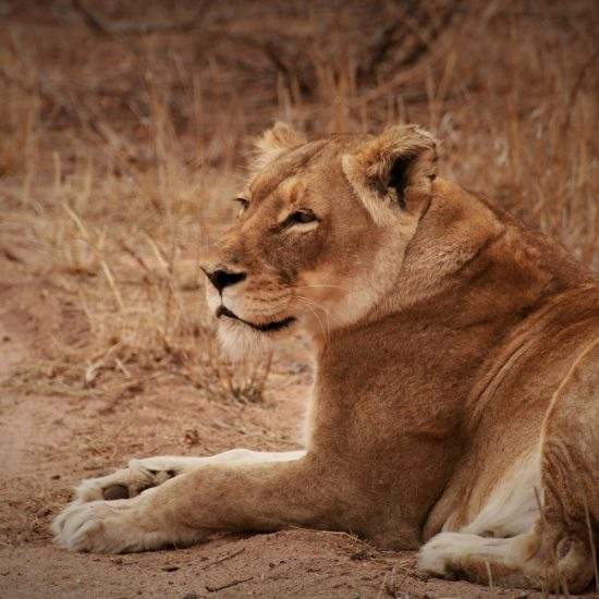 Golden lioness looking into the distance