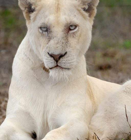 Close up of White Lioness, Gaia