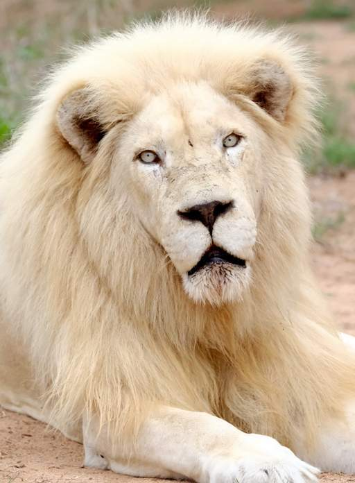 Close up of male White Lion staring into the camera