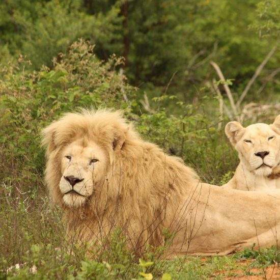 White Lion and Lioness lying together in the green grass, looking at the camera