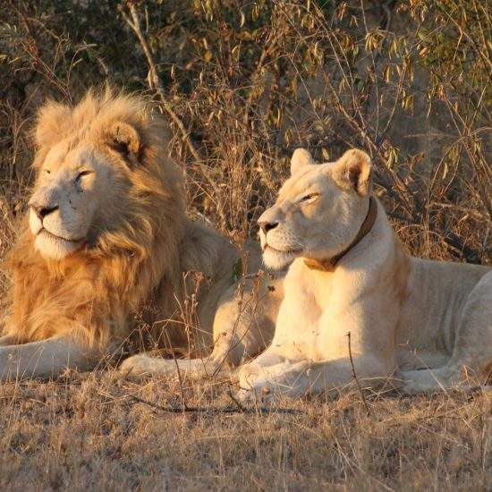 Male White Lion and White Lioness lying together watching the sunrise