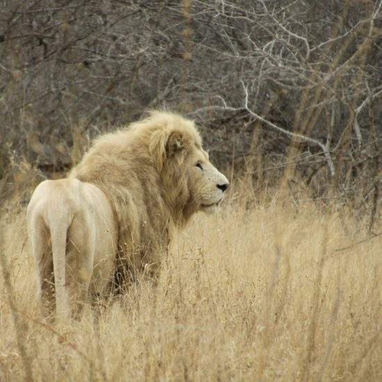 Male White Lion staring off to the side